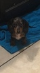 Dachshund Puppy For Sale in JAY, OK, USA