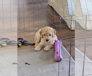 Double Doodle Puppy for sale in HERRIMAN, UT, USA