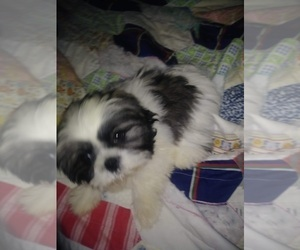 Father of the Shih-Poo puppies born on 03/21/2021