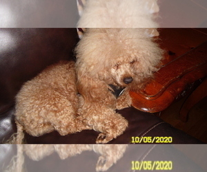 Father of the Poodle (Miniature) puppies born on 08/02/2020