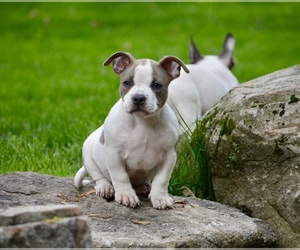 American Bully Puppy for sale in ASBURY, NJ, USA