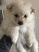 Pomeranian Puppy For Sale in RITZVILLE, WA, USA