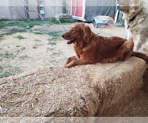 Mother of the Golden Retriever puppies born on 06/19/2019