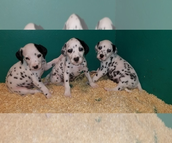 Medium Photo #4 Dalmatian Puppy For Sale in DUVALL, WA, USA