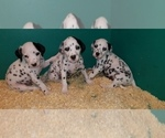 Small Photo #4 Dalmatian Puppy For Sale in DUVALL, WA, USA