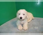 Puppy 1 Bichon-A-Ranian-Poodle (Standard) Mix