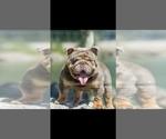 Small Photo #1 Bulldog Puppy For Sale in BAKERSFIELD, CA, USA