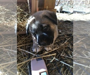 Anatolian Shepherd Puppy for Sale in STUART, Virginia USA