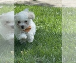 Small Photo #2 Maltipoo Puppy For Sale in LOUISVILLE, KY, USA