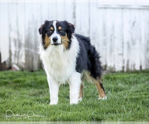 Father of the Australian Shepherd puppies born on 02/27/2021