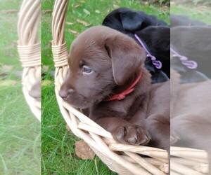 Labrador Retriever Puppy for sale in PRESCOTT, OR, USA