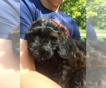Small #3 Poodle (Miniature)-Soft Coated Wheaten Terrier Mix