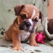 Bulldog Puppy For Sale in SPRINGFIELD, Missouri,