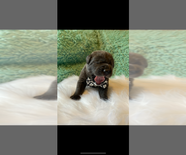 Medium Photo #3 Cane Corso Puppy For Sale in BARGAINTOWN, NJ, USA