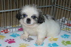 Pekingese Puppy For Sale in ORO VALLEY, AZ, USA