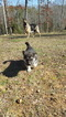 German Shepherd Dog-Siberian Husky Mix Puppy For Sale in CORBIN, KY