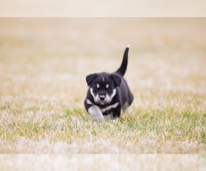 Labrador Retriever-Siberian Husky Mix Puppy for Sale in WOODFORD, Virginia USA