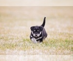Small Labrador Retriever-Siberian Husky Mix