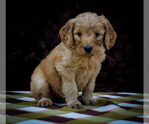 Goldendoodle Puppy for Sale in NEWARK, Ohio USA