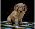 Goldendoodle Puppy For Sale in NEWARK, OH, USA