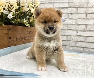 Shiba Inu Puppy for sale in LAS VEGAS, NV, USA