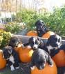 Bernefie (pronounced burn-ah-fee) Puppy For Sale in WAYLAND, MI, USA