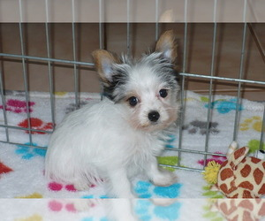 Yorkshire Terrier Puppy for sale in ORO VALLEY, AZ, USA