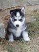 Siberian Husky Puppy For Sale in MORRISTOWN, TN