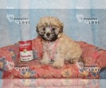 Small #1 Maltese-Poodle (Toy) Mix