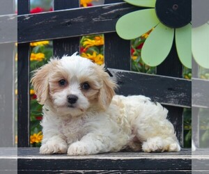 Bichon Frise-Cavachon Mix Puppy for sale in GORDONVILLE, PA, USA