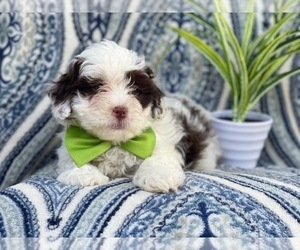 Lhasa-Poo Puppy for sale in LAKELAND, FL, USA