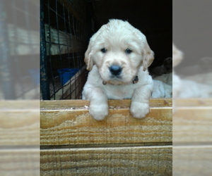 Golden Retriever Puppy for Sale in HONEA PATH, South Carolina USA