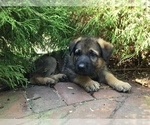 Small #29 German Shepherd Dog