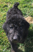 Puppy 3 Airedoodle