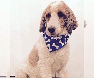 Father of the Goldendoodle-Poodle (Standard) Mix puppies born on 12/20/2020