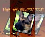 Small #757 German Shepherd Dog