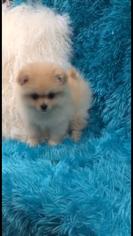 Pomeranian Puppy For Sale in KIRKLAND, WA, USA