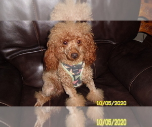 Mother of the Poodle (Toy) puppies born on 03/01/2021