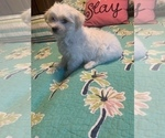 Small Photo #2 Morkie Puppy For Sale in FORT WORTH, TX, USA