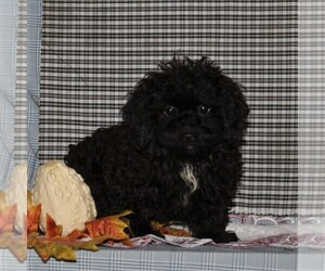 Havanese-Poodle (Toy) Mix Puppy for sale in CHRISTIANA, PA, USA