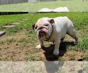 Father of the Bulldog puppies born on 07/29/2019