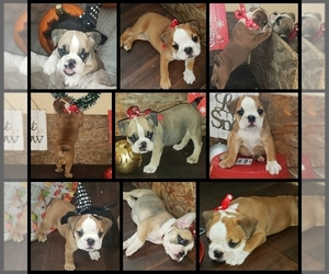 Bulldog Puppy for sale in PUNTA GORDA, FL, USA