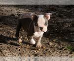 Small #18 Boston Terrier