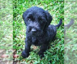 Labradoodle Puppy for Sale in STATESBORO, Georgia USA