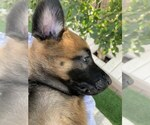 Small Photo #9 Belgian Malinois Puppy For Sale in CHANDLER, AZ, USA