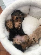 Yorkshire Terrier Puppy for sale in SYR, NY, USA
