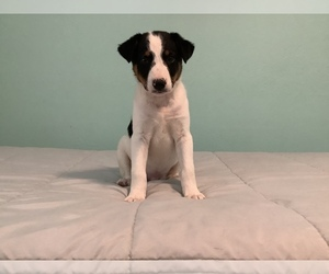 Australian Cattle Dog-Border Collie Mix Puppy for sale in HILLSBORO, WI, USA