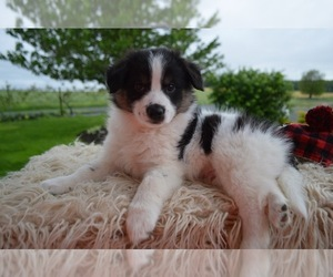 English Shepherd Puppy for sale in HONEY BROOK, PA, USA