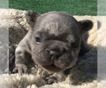 Small #38 French Bulldog