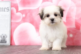 Mal-Shi Dog for Adoption in BEL AIR, Maryland USA